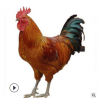 供应麻鸡种蛋供应 常年供应麻鸡苗 笨鸡苗红玉种蛋